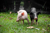 Two pigs — Photo