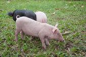 Three pigs — Photo