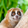 Slow loris - Stock Photo