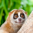 Slow loris — Stock Photo #7340232