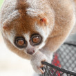 Slow loris monkey — Stock Photo #7340305