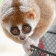 Stock Photo: Slow loris monkey