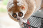 Slow loris monkey — Stock Photo