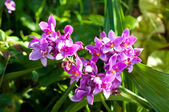 Purple Spathoglottis orchid flower — Stock Photo