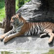 Sumatran Tiger - Foto Stock