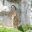 Sumatran Tiger - Stockfoto
