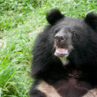 Asiatic black bear (selenarctos thibetanus) — Stock Photo