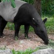 Malayan tapir (tapirus indicus) — Stock Photo