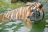 Sumatran Tiger — Stock Photo
