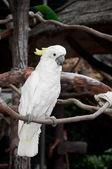 Yellow lesser sulphur-crested cockatoo (Cacatua sulphurea) — Stock Photo