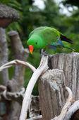 Parrot (Psittacus torquata) — Foto Stock