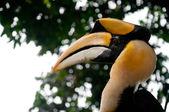 Great Hornbill (Buceros bicornis) — Photo