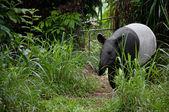 Malayan tapir (tapirus indicus) — Stock Photo