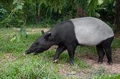 Malayan tapir (tapirus indicus) — Стоковое фото