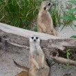 Slender - tailed meerkat (suricata suricatta) — Stock Photo