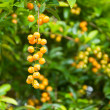 Duranta, Sky flower, Golden dew drop, Pigeon berry, Duranta repe — Stock Photo