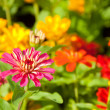 Zinnia flower - Zinnia violacea Cav. — Stock Photo