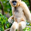 Gibbon of golden cheeks, Nomascus gabriellae — Stock Photo