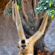 Gibbon of golden cheeks, Nomascus gabriellae — Stock fotografie