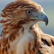 Eagle of red tail (Buteo jamaicensis) - Stok fotoraf
