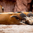 Red River Hog, Potamochoerus porcus pictus - Stock Photo