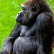 Gorilla of coast,  Gorilla gorilla - Stok fotoraf
