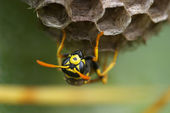 Wasp ( polistes gallicus ) — Stock Photo