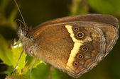 Butterfly (Pyronia bathseba) — Stock Photo