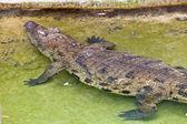 A nile crocodile, Crocodylus niloticus — Stock Photo