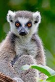 Lemur kruhová ocasu, Kata — Stock fotografie
