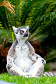 Lemur of ring-shaped tail ,Lemur catta — Stock Photo