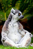 Lemur of ring-shaped tail ,Lemur catta — Stock Photo