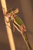 Dragonfly (Lestes Barbarus) — Stock Photo