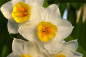 Flower of Narcissus — Stock Photo