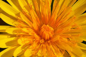 Flower ( taraxacum vulgare ) — Stock Photo