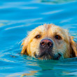 Golden Retriever swimming - Foto Stock