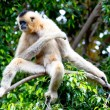 Gibbon of golden cheeks, Nomascus gabriellae - Stock Photo