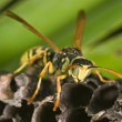 Wasp (Polistes bischoffi) - Stock Photo