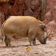 Red River Hog, Potamochoerus porcus pictus - Foto de Stock