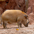 Red River Hog, Potamochoerus porcus pictus - Стоковая фотография