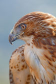 Eagle of red tail (Buteo jamaicensis) — Stock Photo