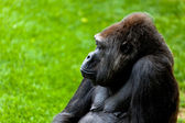 Gorilla of coast, Gorilla gorilla — Stock Photo