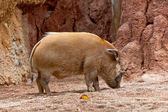 Red River Hog, Potamochoerus porcus pictus — Stock Photo