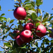 Branch with red apples against blue sky. - Stock Photo