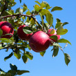 Branch with red apples against blue sky. — Stock Photo #6928997