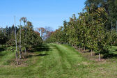 Apple Orchard field full of apples — Stock Photo