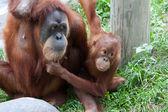 Mother and Baby Orangutan — Stock Photo