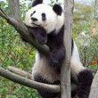 The giant panda — Stock Photo