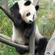 The giant panda — Foto Stock