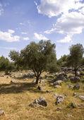 Olive garden — Stock Photo
